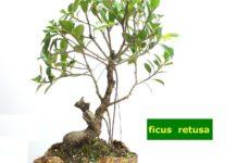 Come prendersi cura dei bonsai da interno clorofilla magazine